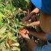 さくらぐみ トマト収穫